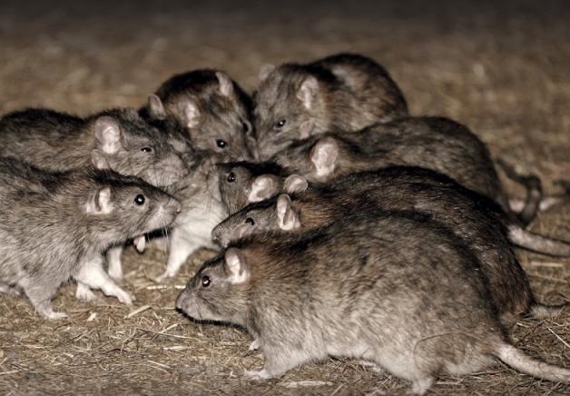 dhs rats
