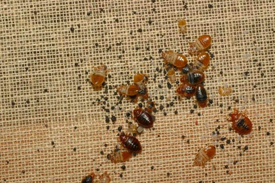 bed-bugs-under-carpet-pictures